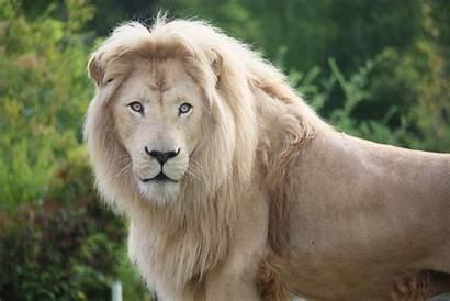 Lion Zoo African Wild Animals Toronto Animal