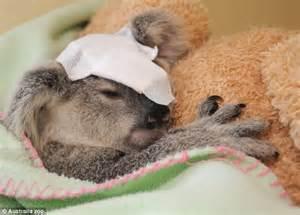 aussie animal hospital orphaned koala blasted with shotgun makes miraculous
