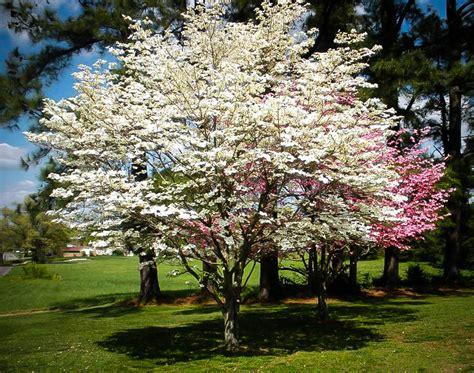 cherokee princess dogwood tree  sale   tree