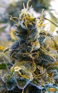 Blue Mystic Seeds - Strain Review | Grow-Marijuana.com  Blue