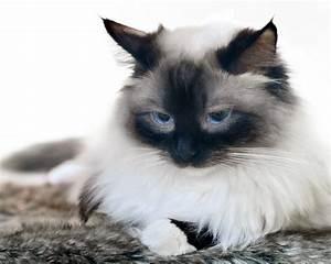 Schöne Bilder Kaufen : ergebnis f r birma katzen sind ausgesprochen sch ne und sanfte katzen diese katze ist sehr auf ~ Orissabook.com Haus und Dekorationen