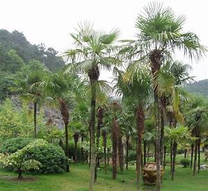 Trachycarpus Fortunei Auspflanzen : trachycarpus fortunei wikiwand ~ Eleganceandgraceweddings.com Haus und Dekorationen