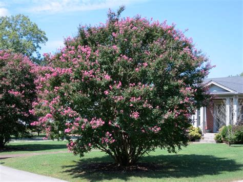 best trees for front yard top trees for your front yard landscaping network