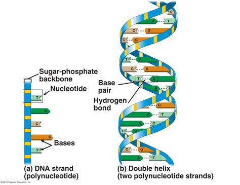 dna diagrams diagram site