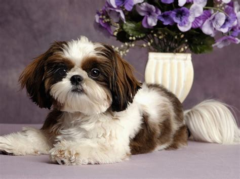 best low shedding small dogs non shedding small mixed breed dogs image breeds picture
