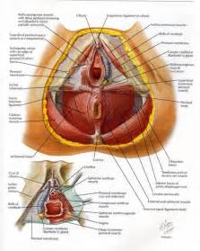 female pelvic anatomy anatomy organ