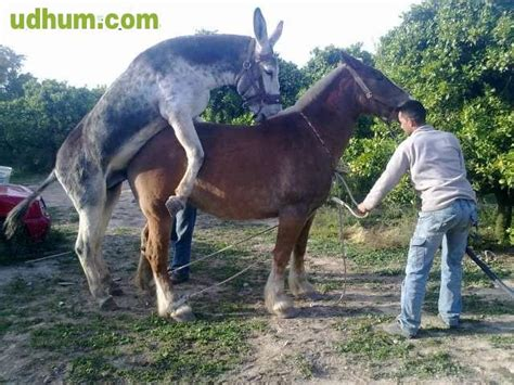 burro apareandose  una yegua porno  caballos