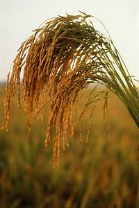 Ucr Today  Statistical Model Predicts Performance Of Hybrid Rice