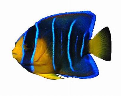 Fish Transparent Ocean Angel Clipart Peces Poisson