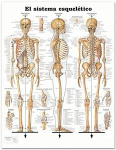 Human Trainer Exercise Chart 32 Best Images About Anatomía On Pinterest English