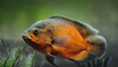 Oscar Fish Animal Alphacoders