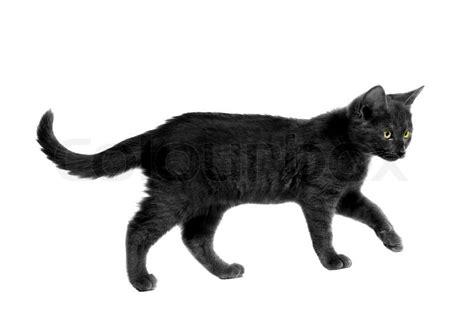 schwarze katze mit gelben augen zu fuss auf weiss