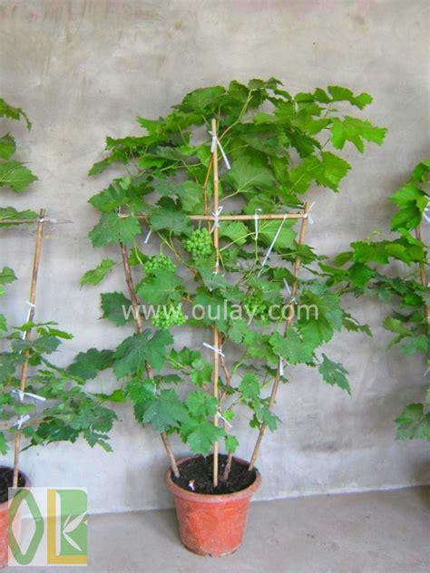 bambou pot raisin treillis pour soutenir usine cl 244 tures