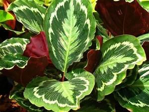 Entretien Plante Verte : calathea arrosage conseils de culture ~ Medecine-chirurgie-esthetiques.com Avis de Voitures