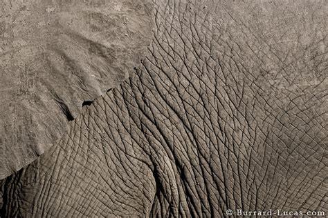 elephant texture burrard lucas photography