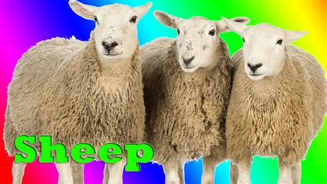 sheep names real farm animals pictures www pixshark com images galleries with a bite