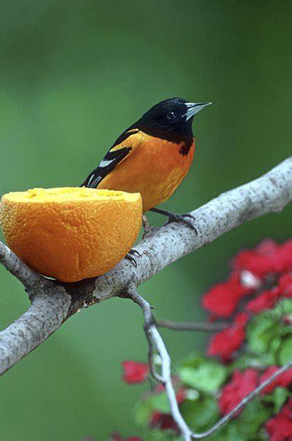 image gallery orange birds eat fruit