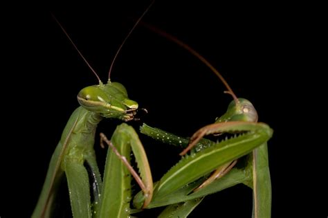Why Do Female Praying Mantis Eat Males After Sex