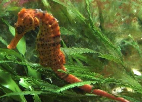 seahorse species  aquariums
