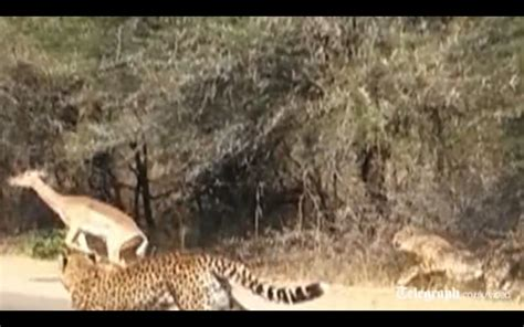 Impala Jumps In Car Window, Escapes Cheetahs In South