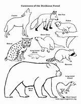Coloring Forest Pages Deciduous Chain Carnivores Web Drawing Carnivore Printable Animal Animals Temperate Tundra Drawings Chains Exploringnature Getdrawings Printables Broken sketch template