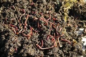 Compost Worms | Gardening II | Pinterest