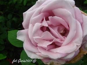 Mainzer Fastnacht Rose : rose rosa 39 mainzer fastnacht 39 pflanzen enzyklop die ~ Orissabook.com Haus und Dekorationen