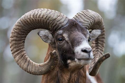 mufflon widder portait wild kingdom