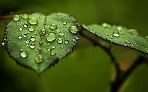 wallpapers: Water Drops on Leaf Wallpapers