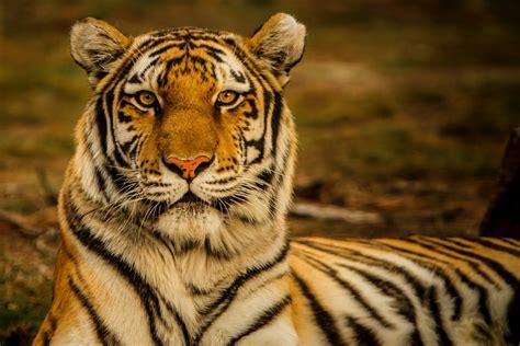hd tiger wallpaper animal hd tiger wallpaper