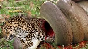 AMAZING ANIMAL Leopard Vs Giant Anaconda Snake Real Fight ...
