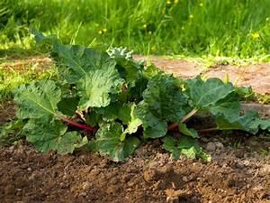 Rhabarber Ernten Im Herbst : rhabarber pflanzen kaufen rhabarber 39 livingstone 39 volmary gartenshop beet und ~ Orissabook.com Haus und Dekorationen