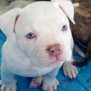 White pitbull puppy with blue eyes   Pitbull Pupies... my ...