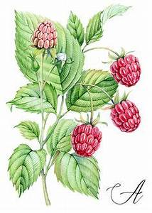 Raspberry watercolor botanical illustration by Kateryna ...