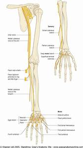 Diagram  All Muscles Of Thumb Are Supplied  Pollicis  By
