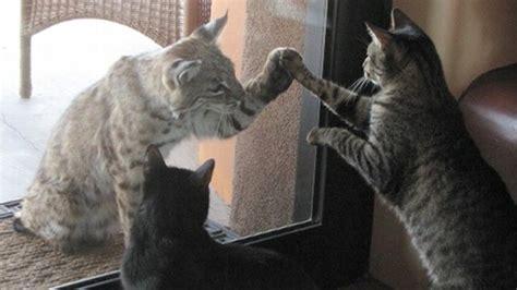 bobcat  house cat meet  match video abc news