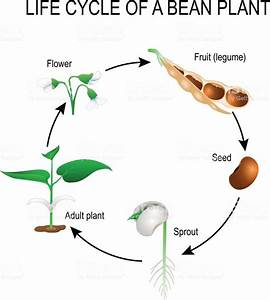 Life Cycle Of A Bean Plant Stock Illustration