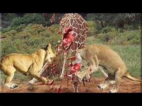 Deadly Fight, Lion VS Giraffe! - YouTube