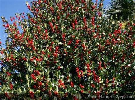 arbusti ornamentali da giardino ilex agrifoglio arbusti della famiglia delle aquifoliaceae