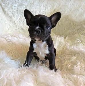 Black French Bulldog Baby