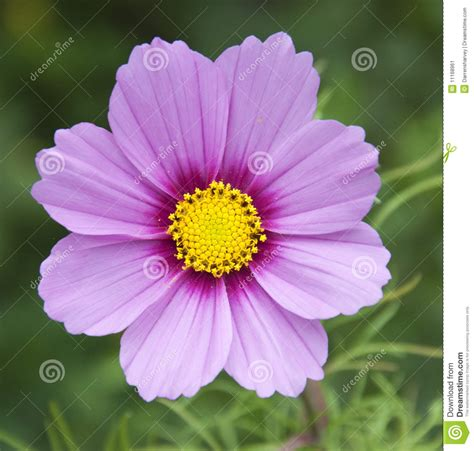 pink or purple flowers pink and purple flower stock image image 11168961