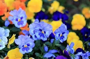 Pansy viola flowers blue petals wallpaper   2048x1337 ...