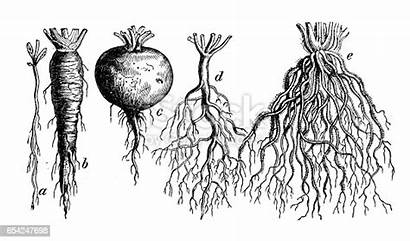 Types Root Different Plants Illustration Illustrations Engraving