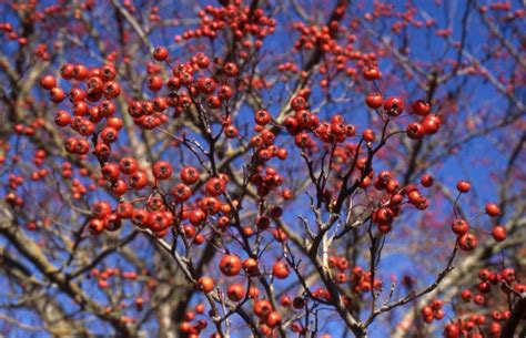 trees with berries in winter hawthorne winter king thetreefarm com
