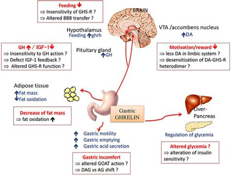 main physiological effects   orexigenic hormone