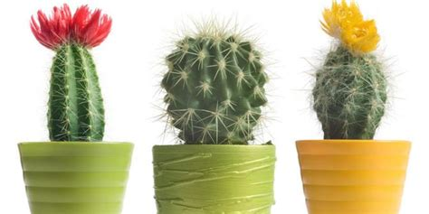 jenis kaktus mempercantik rumah merdekacom