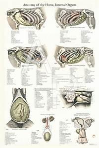 Horse Internal Anatomy Poster