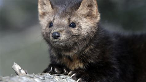 mäuse im haus vertreiben marderkot erkennen marderbefall in haus und garten