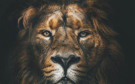 Download Wallpapers Lion, 4k, Muzzle, Wildlife, Predators