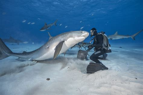 Shark Image Great White Say Cheese Shark Photographer Gets Up